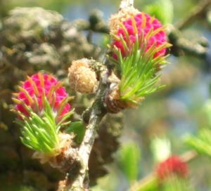 larchenbluten