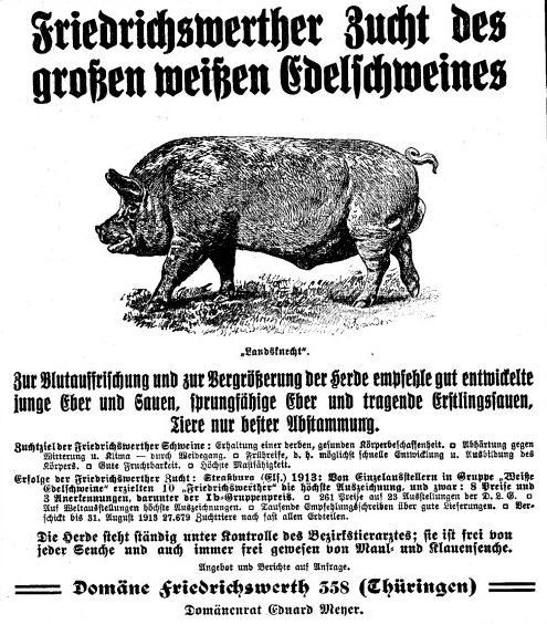 Großes weißes Edelschwein 1914